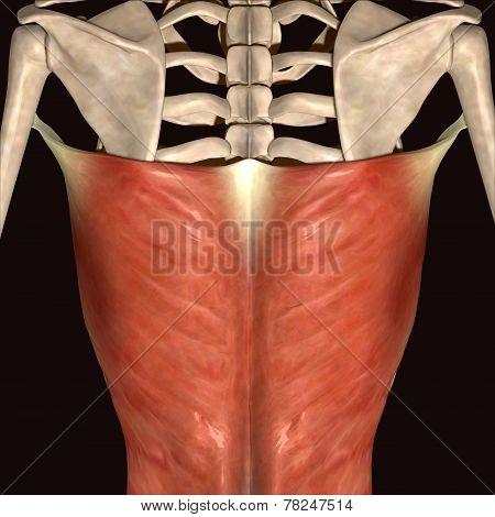 human backbone musels