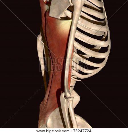 Human body skeleton muscle