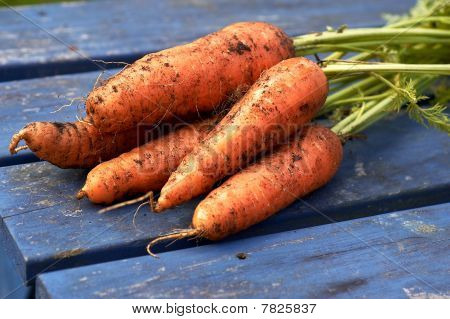 Bunch of freshly pulled carrots