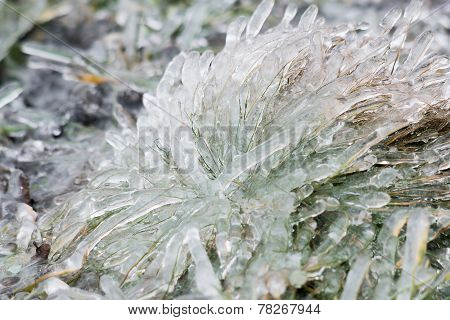 Tussock Icy Grass On A Winter Day