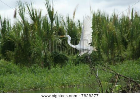 Flying white egret from Amazon river. Peru selva. poster
