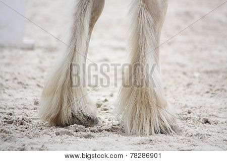 Shire Horse Legs Close Up