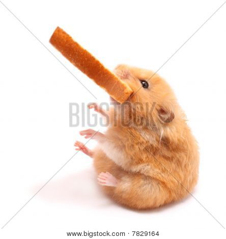 poster of very fanny hamster seats and holds peace of bread in mouth