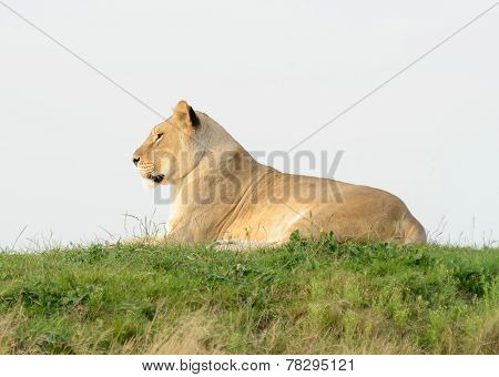 Lioness On Hill