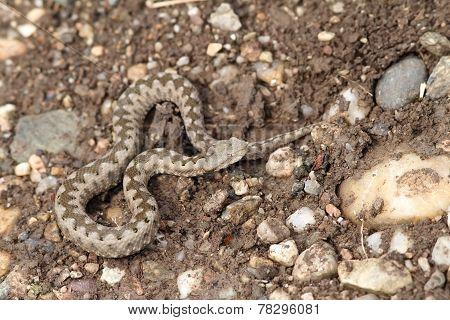 Small Vipera Ammodytes