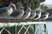 row of sea gulls sitting on a green fence poster
