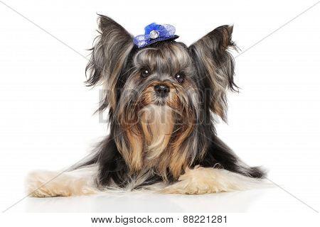 Yorkshire Terrier Biewer York