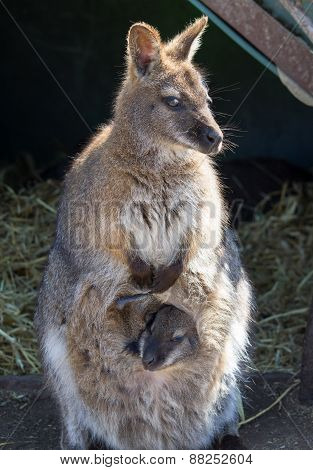 Bennetts Wallaby with infant joey in pouch poster
