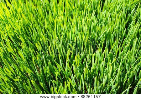 Indoor Grown Wheatgrass From Close