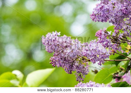 Purple Lilac On Green Blurred Background