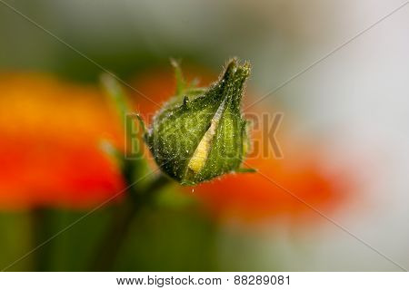 Close up on a flower bud in a garden.