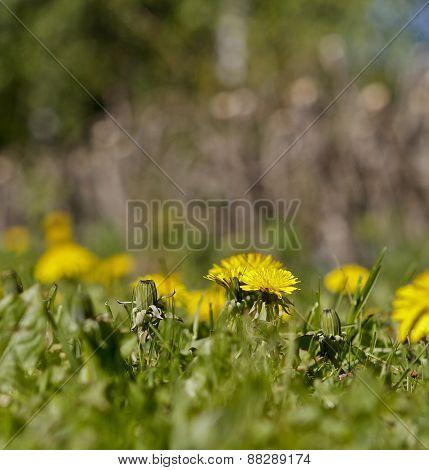 Close up on dandelion, Taraxacum  flower and bud in a garden.