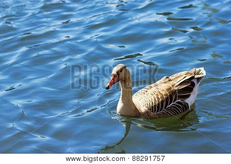 United Kingdom, Devon White Goose In Water
