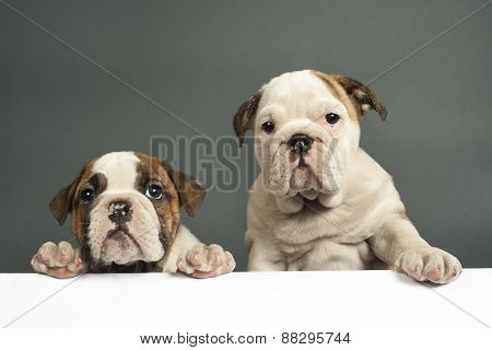 English Bulldog Puppies.