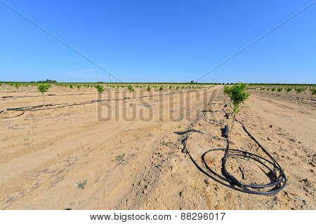 New Almond Orchard