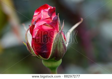 Red rose bud in the garden.