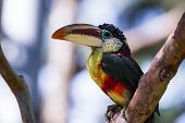 Close up of a Curl crested aracari a beautiful bird native to South America poster