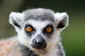 ring tailed lemur (lemiria) portrait photo in zoo poster