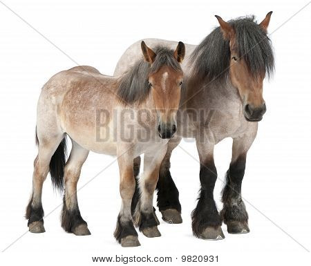 Mother And Foal Belgian Horse, Belgian Heavy Horse, Brabancon, A Draft Horse Breed, 5 Years Old, Sta