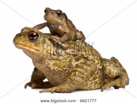 Mother Common Toad And Her Baby, Bufo Bufo, In Front Of White Background
