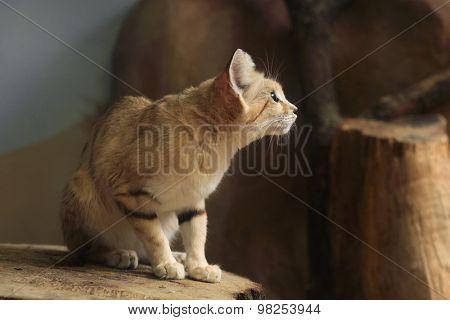Sand cat (Felis margarita), also known as the sand dune cat. Wild life animal.