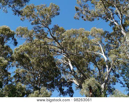 An Eucalyptus tree against a blue sky