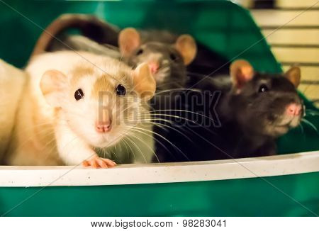 White Rat With Cagemates