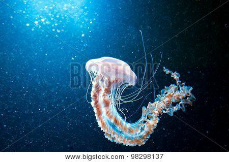 Jellyfish
