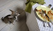Chihuahua looking up at leftover meal on dinner table poster