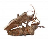 Dock bugs mating Coreus marginatus in front of white background poster