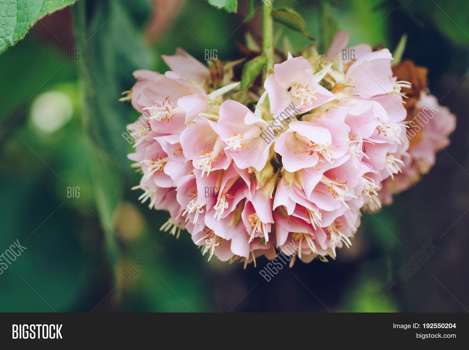 Dombeya wallichii pink image photo free trial bigstock dombeya wallichii or pink ball or pink ball tree this hanging flower clusters are pink mightylinksfo