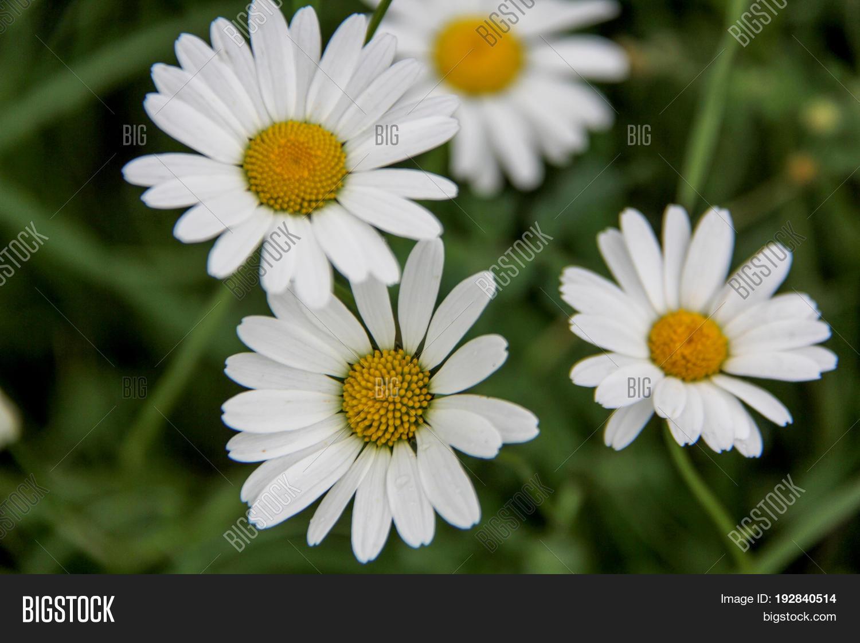 White daisy bellis image photo free trial bigstock white daisy bellis perennis aka common daisy or lawn daisy or english daisy flower izmirmasajfo