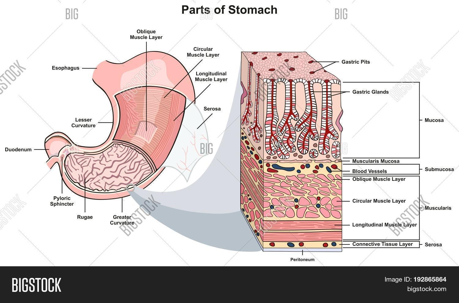 Parts Stomach Image & Photo (Free Trial) | Bigstock