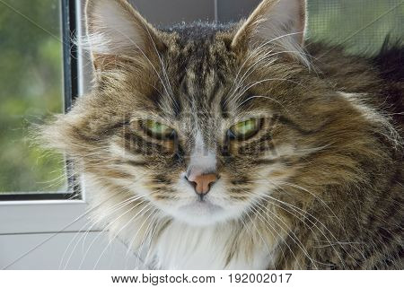 Severe cat looks bleak directly at the camera
