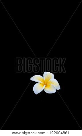 Delicate open white and yellow frangipani flower  moist with morning dew isolated on black