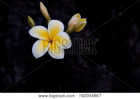 Delicate white and yellow frangipani flower moist with morning dew against grew coral stone background.