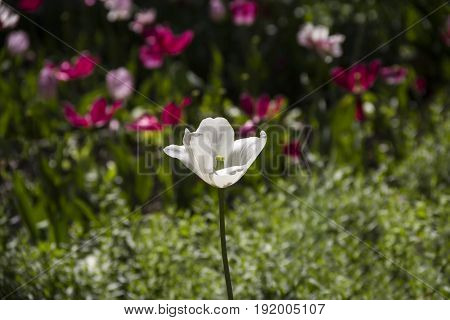 view of single white tulip flower with wide open petals in the field on the other tulips background