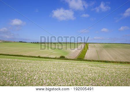 Extensive Pea Crops