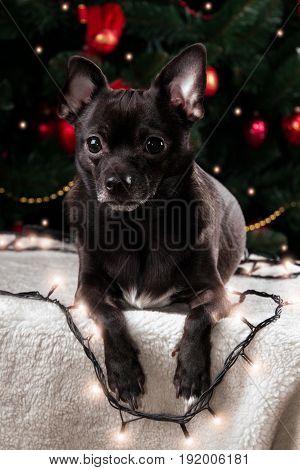 Black chihuahua with Christmas garland and Christmas tree