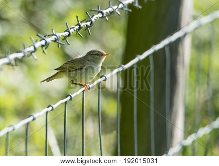 Young Chiffchaff bird perched on barbed wire fence