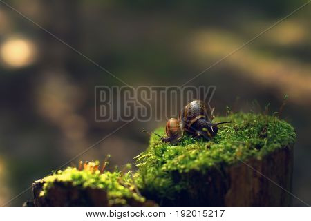 Two snails turned away in different directions early in the morning on a stump with moss in the forest.