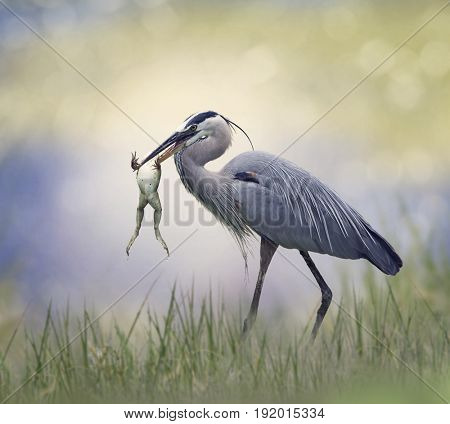 Great Blue Heron with a Bull Frog in its Beak