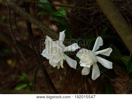 Two white gardenias in full bloom, flowering on the the bush with pine straw and green leaves