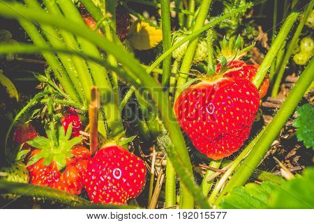 Fresh growing ripe strawberries ready for picking up.