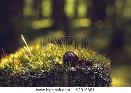 The Garden Snail Crawls Along The Moss In The Forest