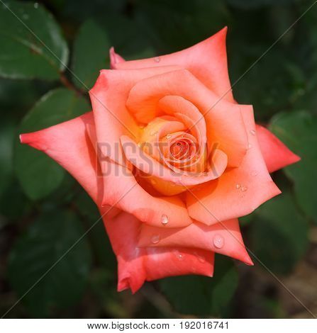 Flower of the blossoming orange rose close-up with dewdrops