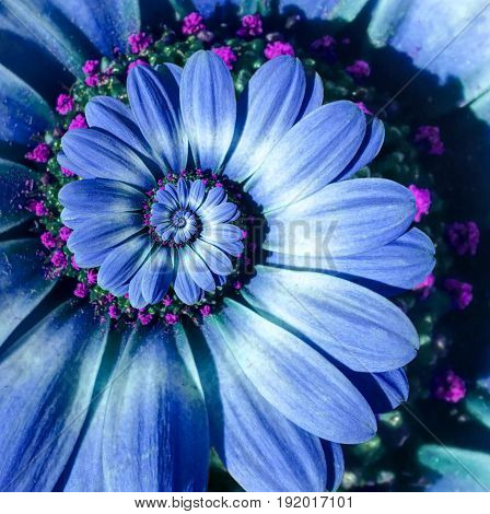 Blue camomile daisy flower spiral abstract fractal effect pattern background. Blue surreal flower spiral abstract pattern fractal. Incredible flower pattern round circle spirally background