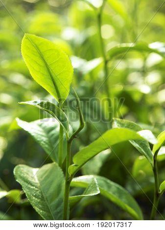 close up on tea leaves