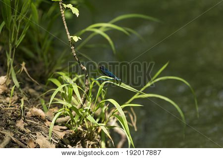 View on a Beautiful demoiselle in the Morning Light.  Close-up of a blue Dragonfly at the Lake. Dragonflies (Calopteryx virgo).  A Dragonfly sits on a green Plant