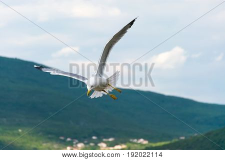 A Large Gull Hovers Above The Adriatic Sea In Montenegro.